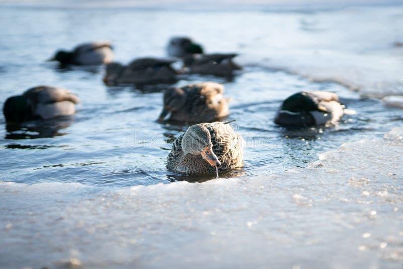 Vattenstekflott från en lös kvinnlig gräsandandnäbb, medan simma med hennes flock i en djupfryst flodsjö eller damm i en seger royaltyfria foton