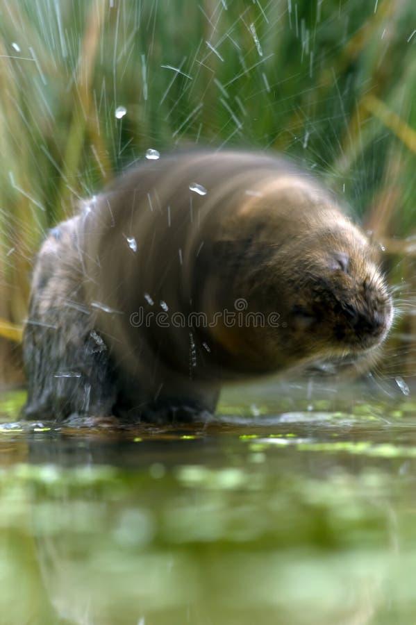 VattenVole (arvicolaamphibiusen) fotografering för bildbyråer