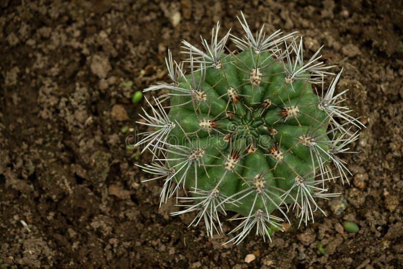 Vaupel di quehlianum del Gymnocalycium nei hosseuss varietà schick di rolfianum, vista superiore del cactus immagini stock libere da diritti