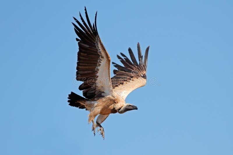Vautour à dos blanc en vol photo libre de droits