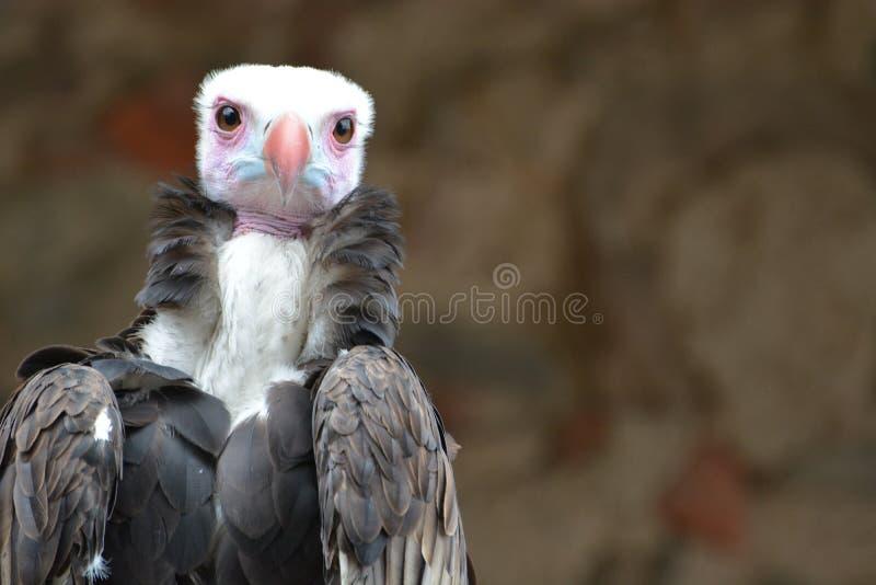Vautour à tête blanche (occipitalis de Trigonoceps) photo stock