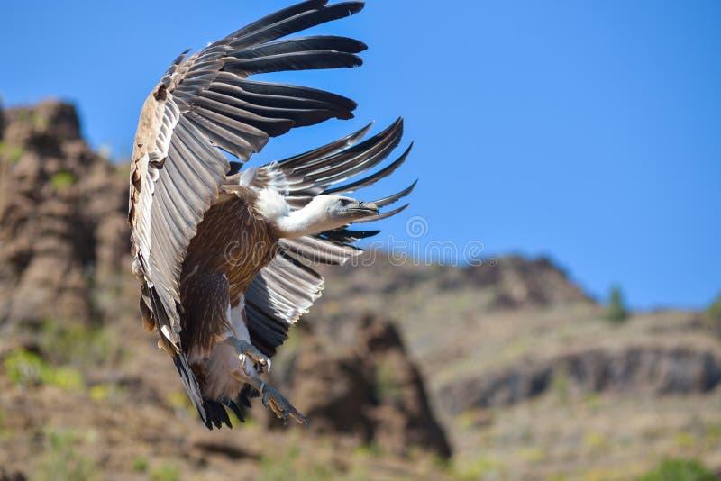 Vautour dans le vol gratuit au parc Maspalomas, mamie Canaria, Espagne de Palmitos images stock