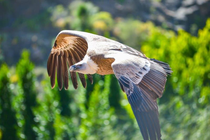 Vautour dans le vol gratuit au parc Maspalomas, mamie Canaria, Espagne de Palmitos image libre de droits