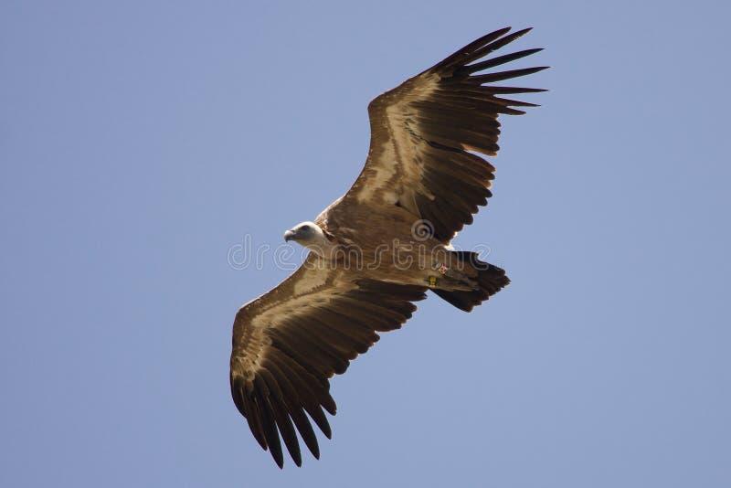 vautour de griffon de vol image libre de droits
