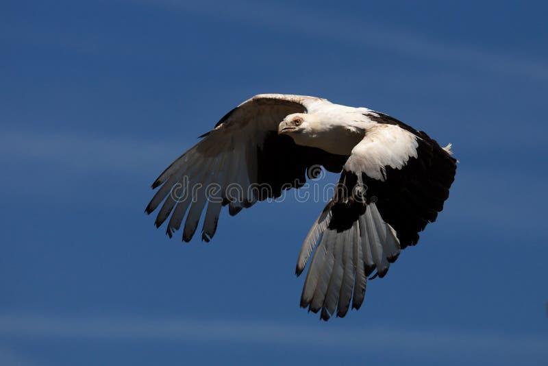 vautour de Paume-noix en vol images stock