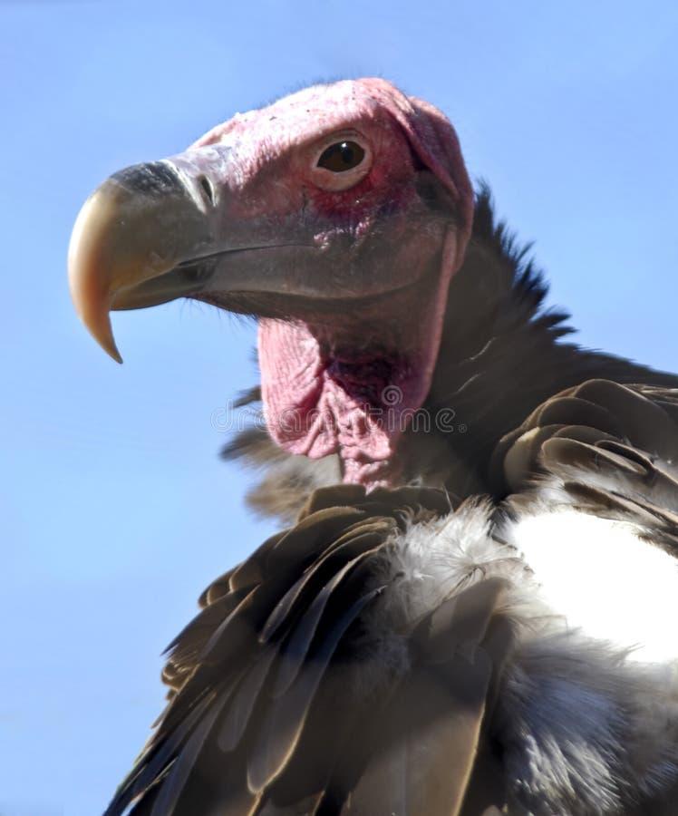 vautour fait face de plumetis photographie stock libre de droits