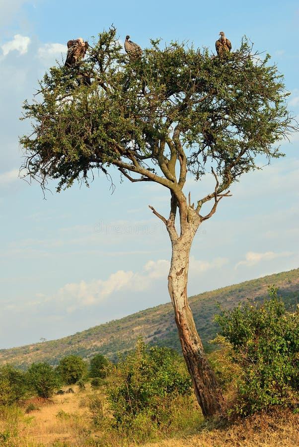Vautours à dos blanc, masais Mara, Kenya image libre de droits