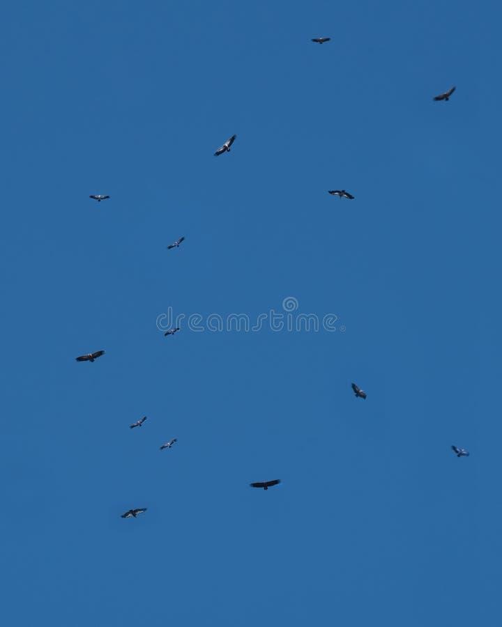 Vautours de griffon retournant en vol au perchoir, Monfrague, Espagne image stock