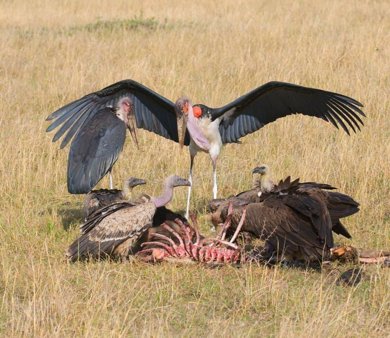 Vautours et feedind de marabout, masai mara, Kenya images libres de droits