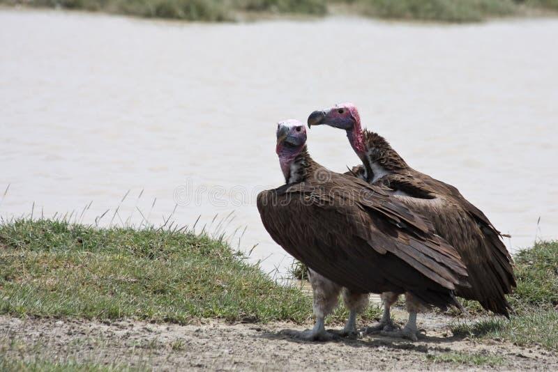 vautours faits face de serengeti de stationnement national de plumetis photo libre de droits