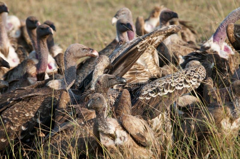 Vautours sur une mise à mort, Mara, Kenya. photographie stock