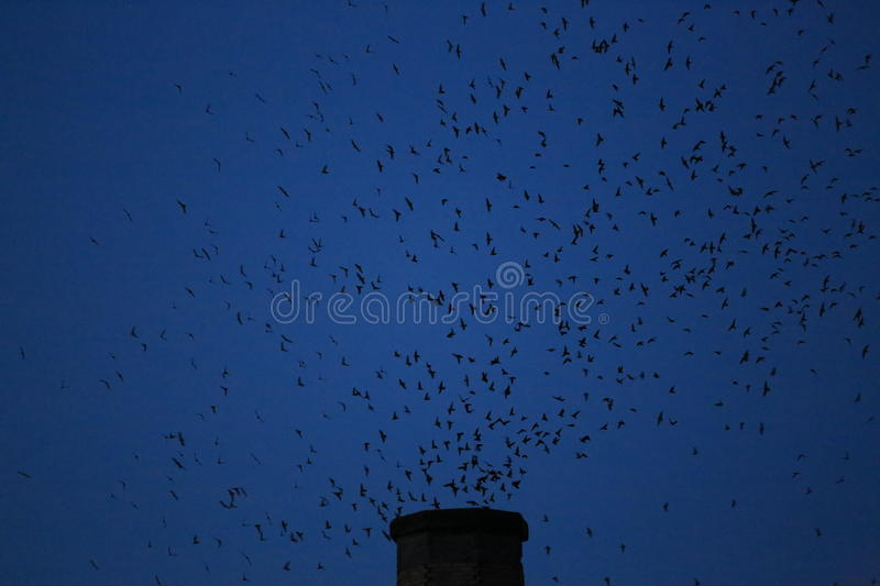 Vaux's Swifts. Using the Chapman Elementary School chimney as roost during fall migration stock photos