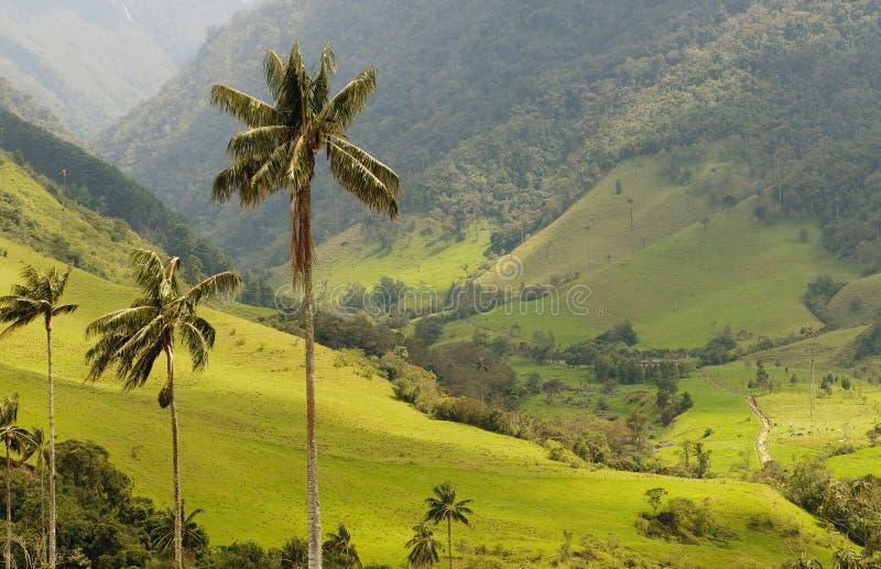 Vax palmträd av den Cocora dalen, colombia arkivbilder