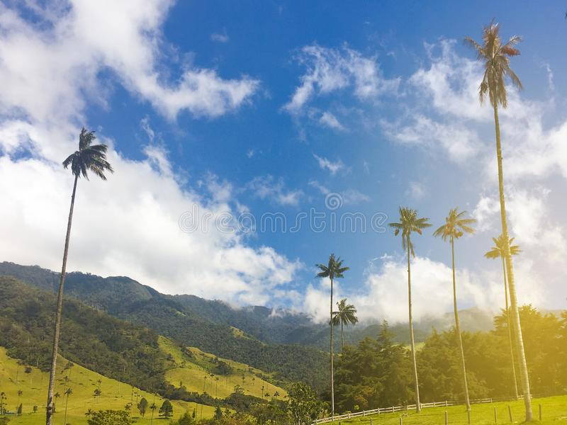 Vaxa palmträd, dalcocoralandskap i Colombia - arkivbilder