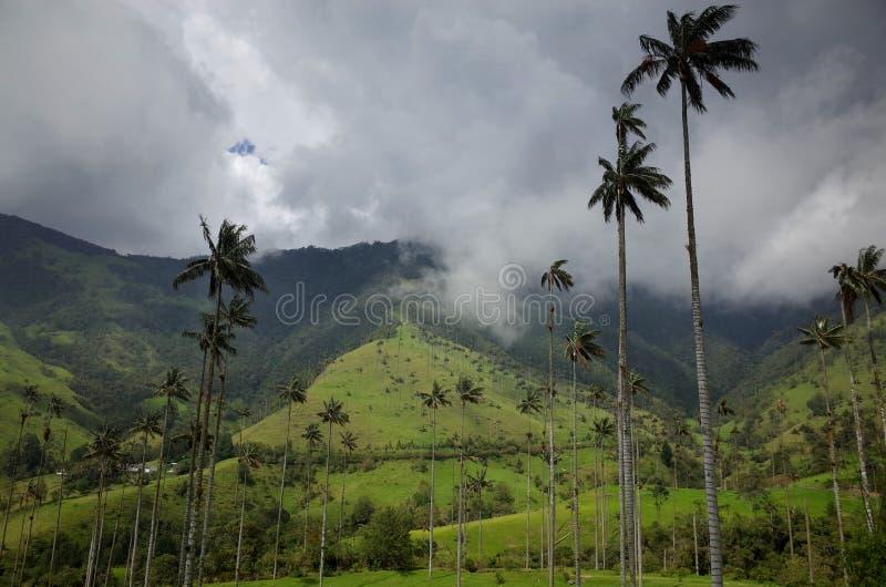 Vaxpalmträd i den Cocora dalen arkivfoto