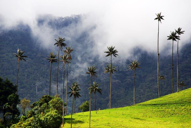 Vaxpalmträden från den Cocora dalen är det nationella trädet, symbolet av Colombia, och den största World'sen gömma i handflata arkivfoton