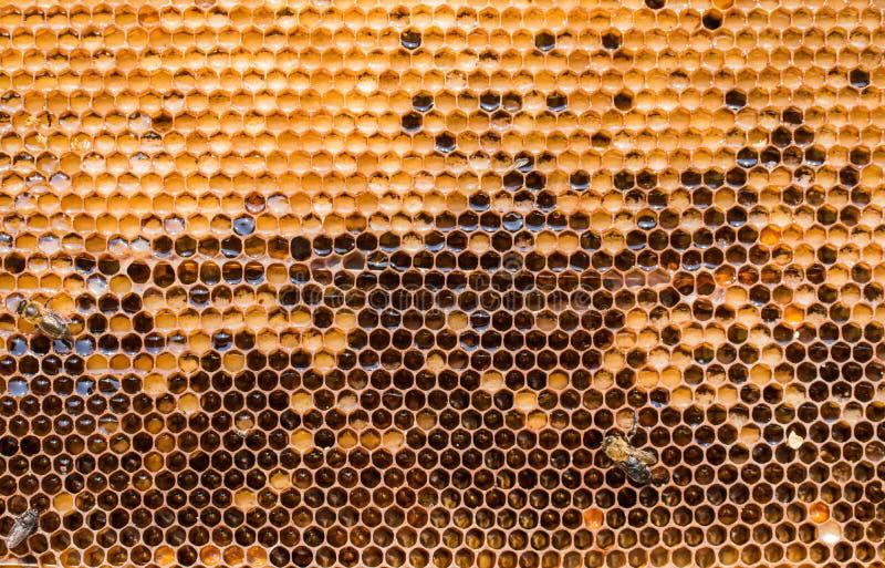Vaxram, n?r att ha pumpat honung fr?n dem, t?tt upp royaltyfri bild