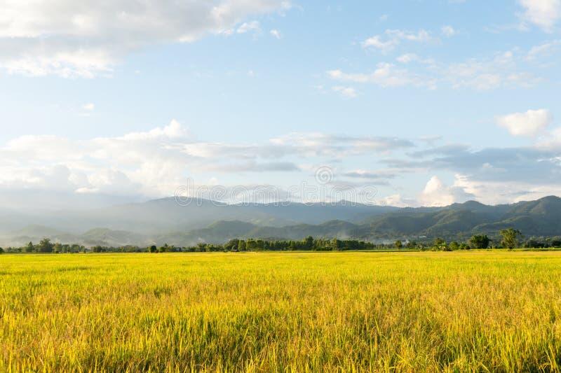 Vea el paisaje del campo de oro del arroz con el cielo azul foto de archivo libre de regalías