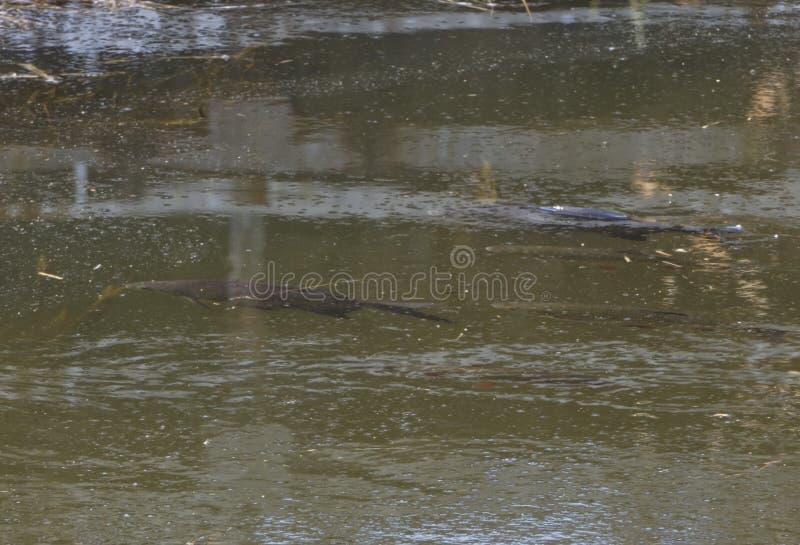 Vea la opinión superior los pescados que nadan en el río bajo con imagen de archivo