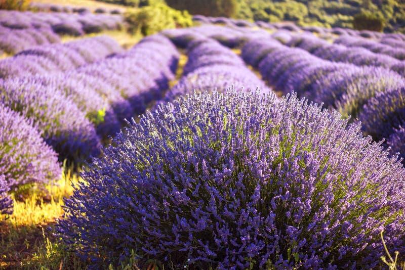 Vea las flores hermosas en campos del lavander en Kuyucak, Isparta, T fotografía de archivo