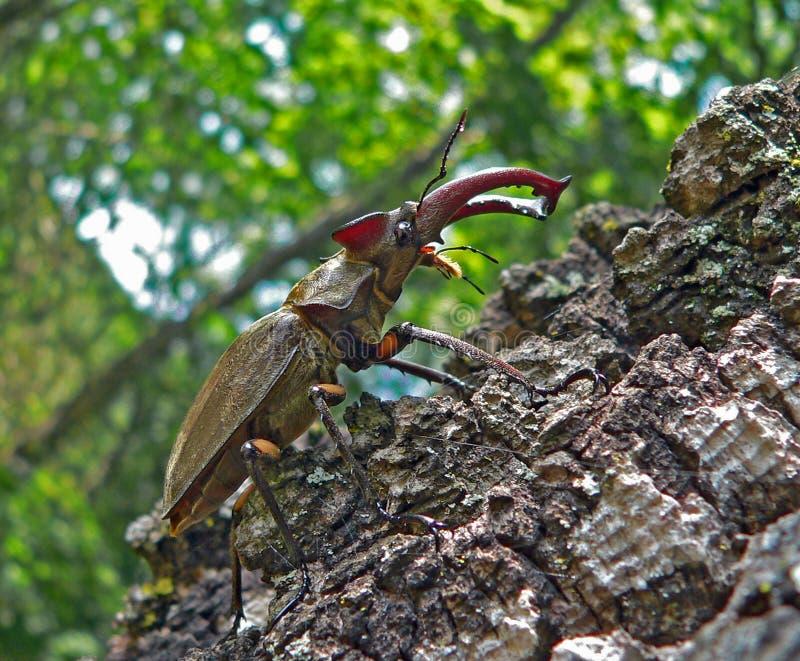 Veado-besouro fotos de stock