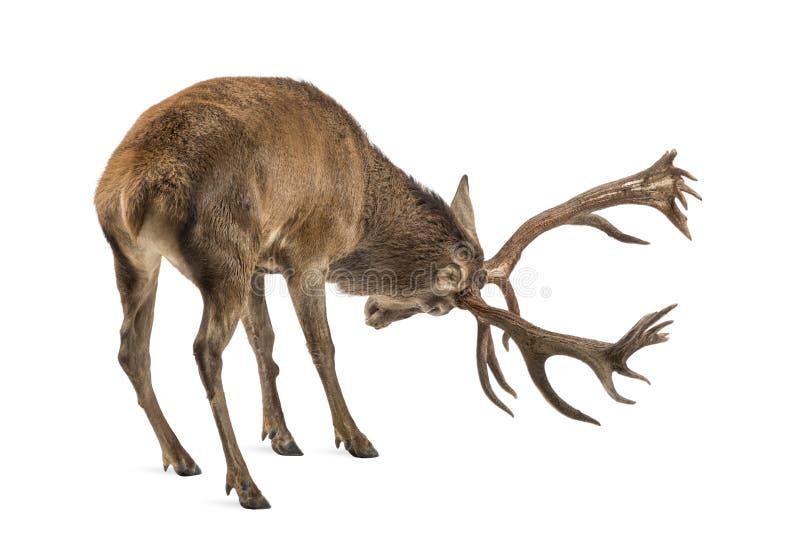 Veado dos cervos vermelhos foto de stock royalty free