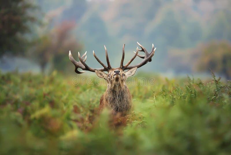 Veado dos veados vermelhos durante a rotina fotos de stock royalty free
