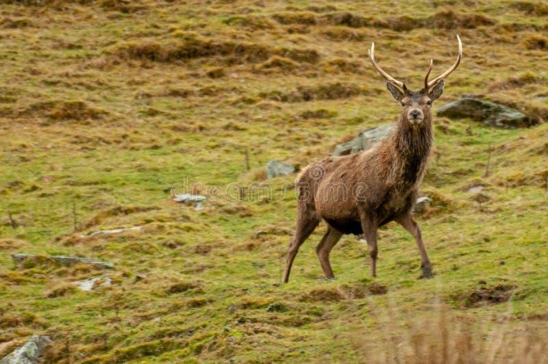 Veado dos veados vermelhos manchado nas montanhas de Escócia foto de stock
