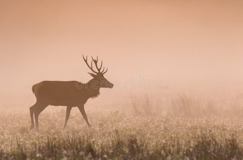 Veado dos veados vermelhos no alvorecer na névoa fotografia de stock