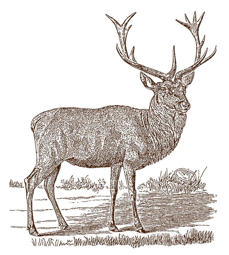 Veado masculino do elaphus do cervus dos veados vermelhos na vista lateral, estando em uma paisagem ilustração stock