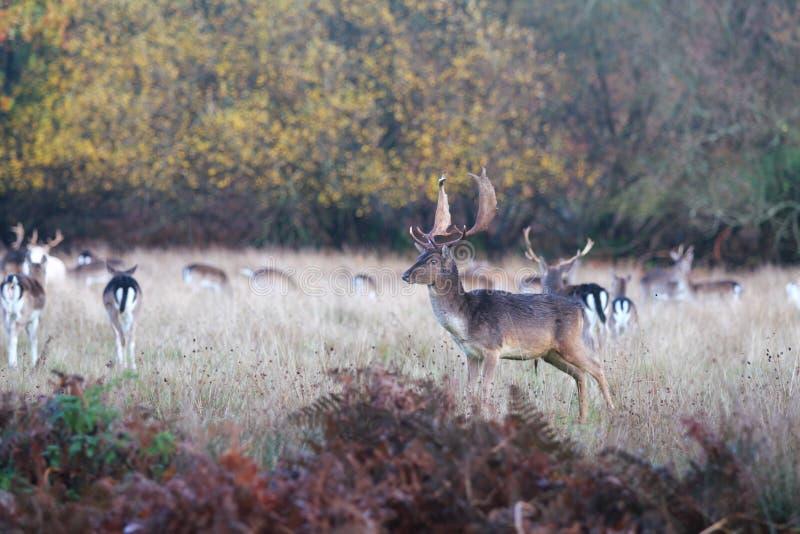 Veado novo na floresta nova, Reino Unido imagem de stock royalty free