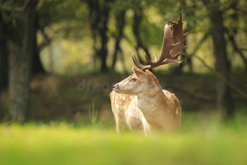 Veado orgulhoso dos gamos, Dama do Dama, em uma floresta verde fotos de stock royalty free