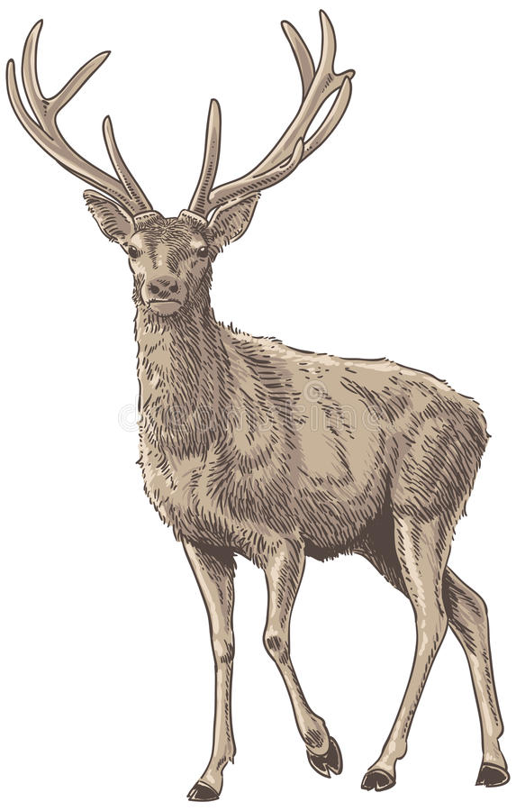 Veados vermelhos ilustração stock