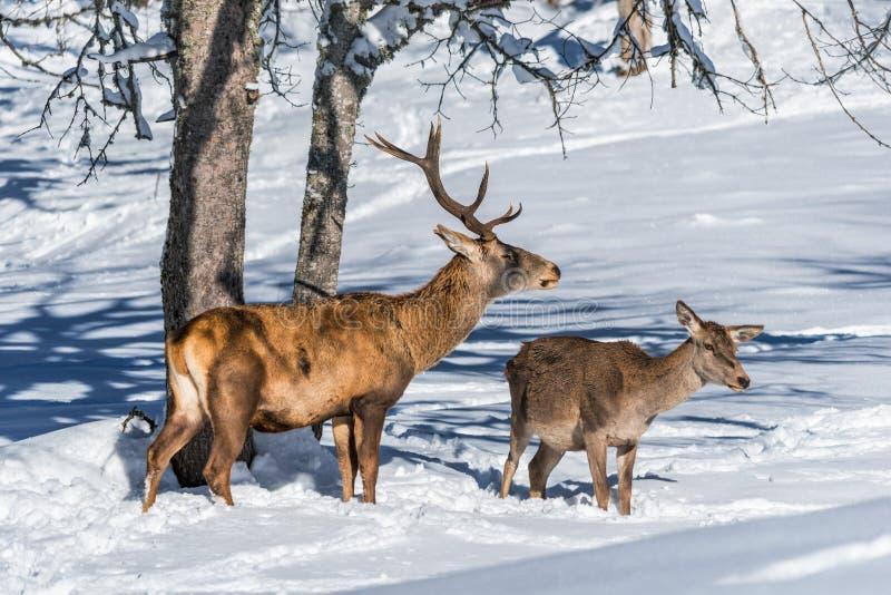 Veados vermelhos masculinos e fêmeas em uma floresta nevado imagens de stock