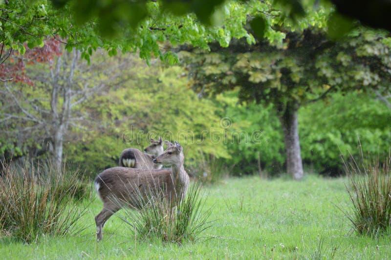Veados vermelhos no parque nacional de Killarney, Irlanda imagens de stock