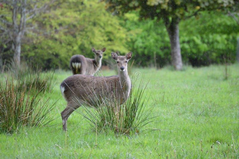 Veados vermelhos no parque nacional de Killarney, Irlanda foto de stock