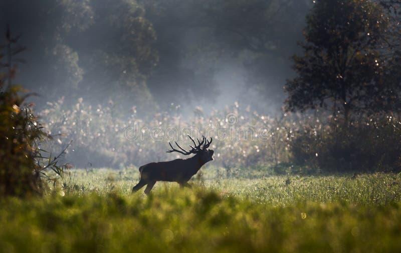 Veados vermelhos que rujem na floresta imagem de stock royalty free
