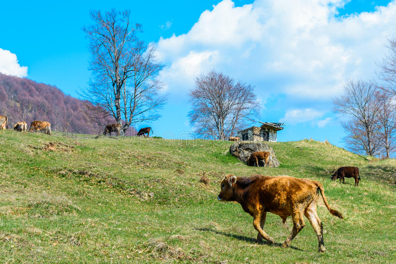 Veals eating spring grass on hills in Romania. Veals eating spring grass on Romanian hills royalty free stock photos