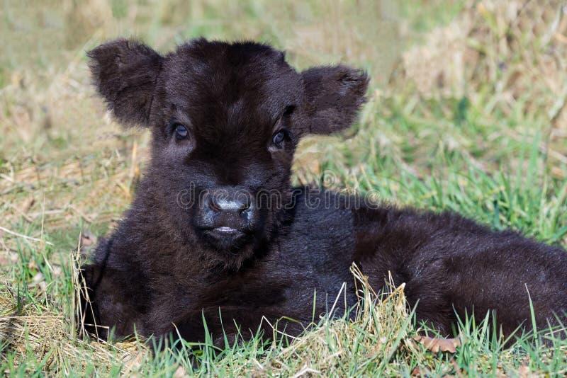 Veau écossais noir nouveau-né de montagnard se situant dans l'herbe photo libre de droits