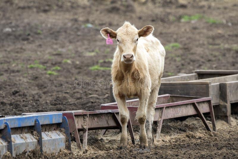 Veau avec la marque d'oreille à un ranch de bétail images libres de droits