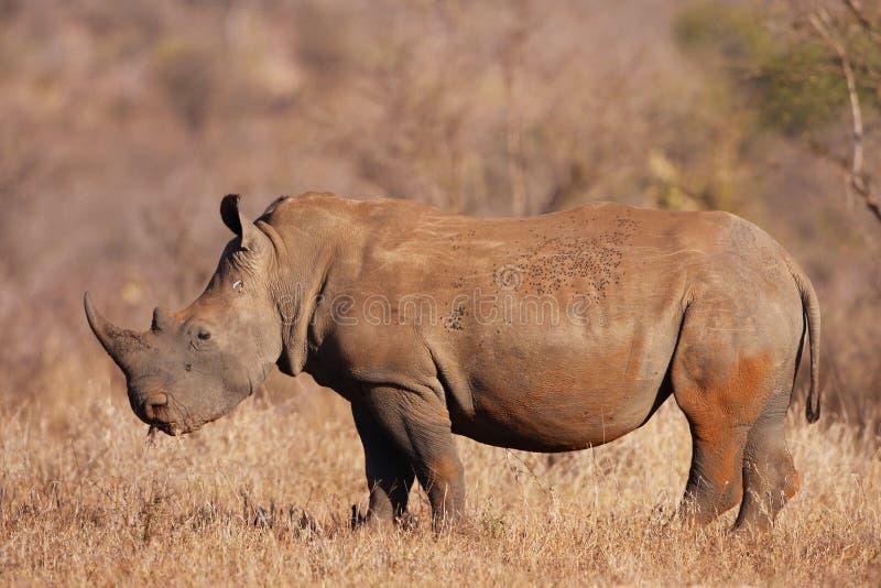 Veau blanc de rhinocéros image libre de droits