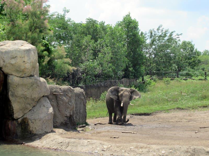 Veau d'éléphant images stock