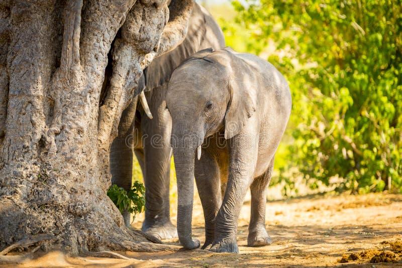 Download Veau D'éléphant Avec Le Troupeau D'éléphant Image stock - Image du veau, nature: 77152527