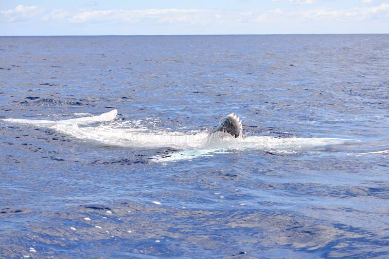 Veau de baleine photo libre de droits