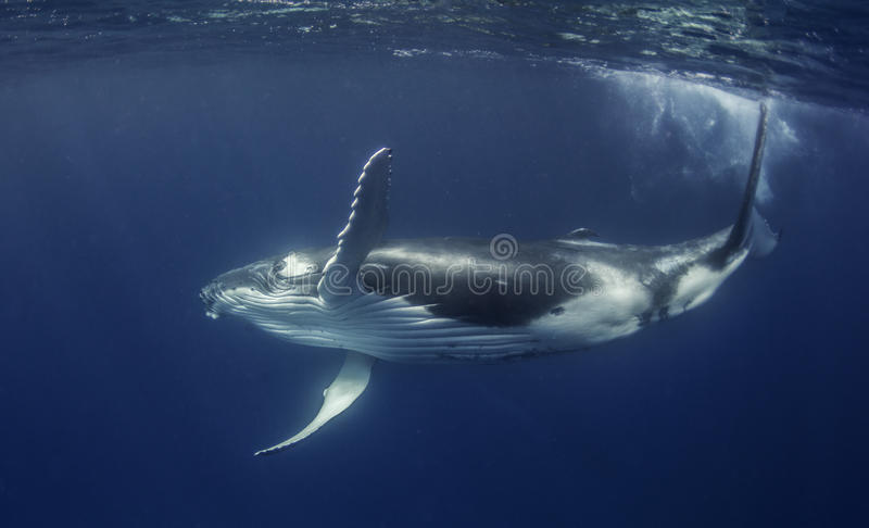 Veau de baleine de bosse photo stock