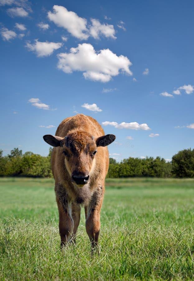 Veau de Buffalo images libres de droits