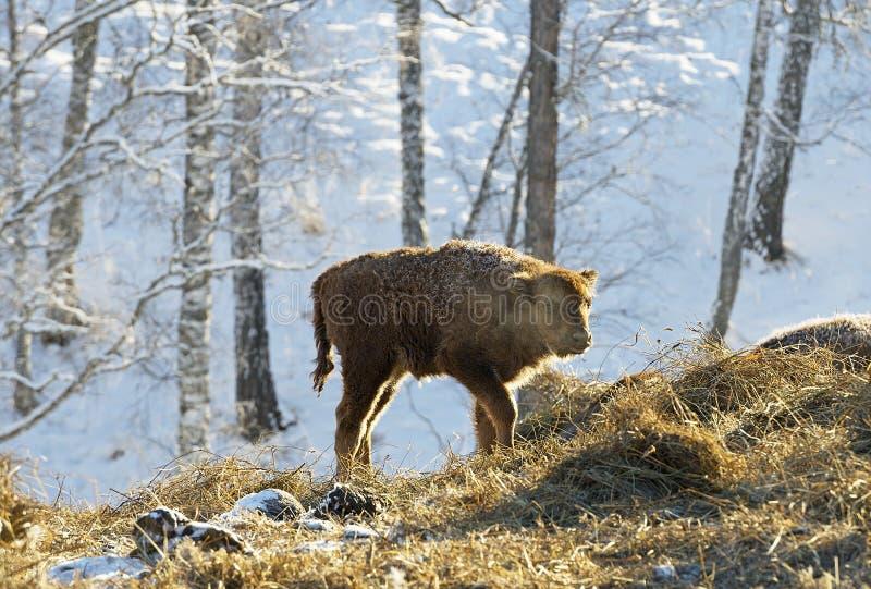 veau de 20 jours de bison européen, aurochs photos stock