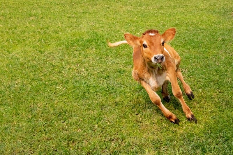 Veau de vache sautant et junning en terre dans le jour ensoleillé photographie stock