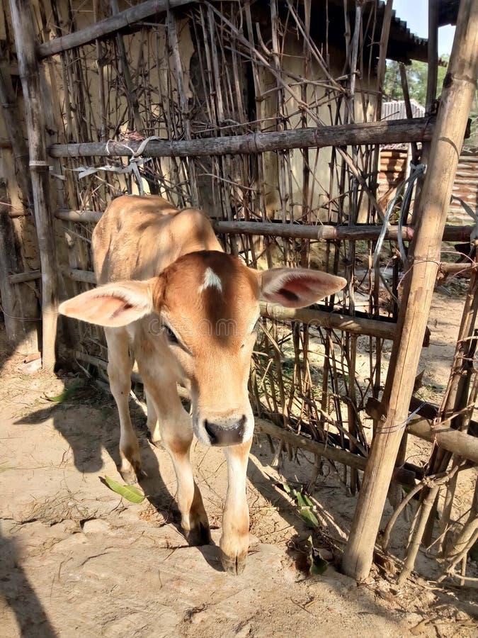 Veau domestique indien dans le village images libres de droits