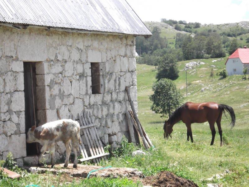 Veau et cheval photographie stock libre de droits